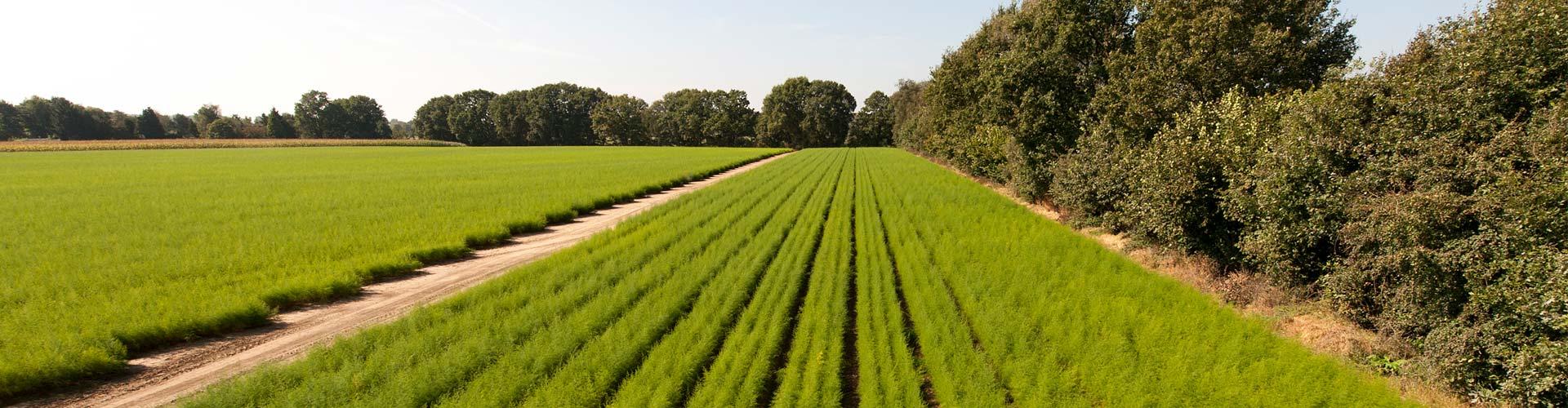 EG-Pflanzenpass, QS und Naktuinbouw zertifiziert - Nur die besten Spargelsorten für Ihre Erträge.